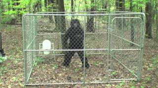 BIGFOOT CAUGHT BY CRYPTOZOOLOGIST