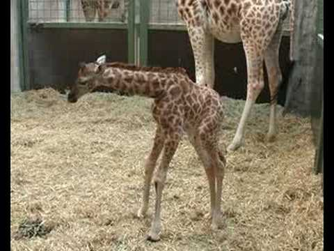 Zoo Knoxvilles Patches oldest US giraffe under