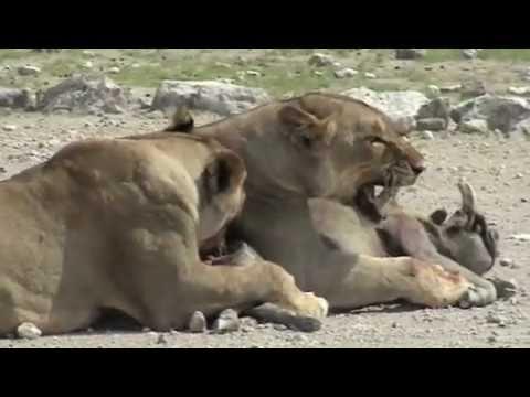 Lions Killing Warthog