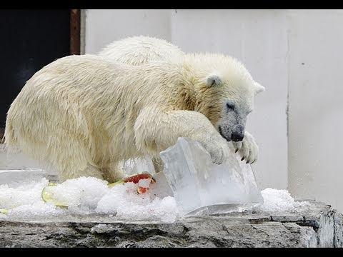 ホッキョクグマに氷のプレゼント(2011) 2~Polar Bear is crazy about fishing