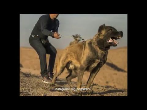 biggest mastiff dog- Sarabian Dog- persian biggest dogs
