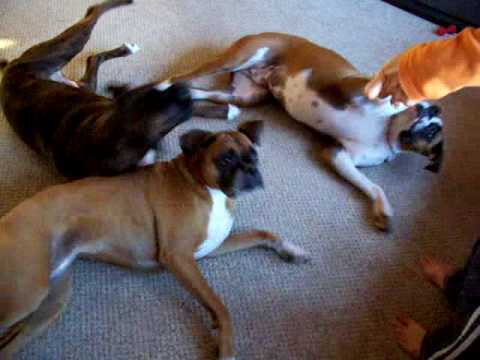 Thumbnail of video Bang! Three boxers playing dead