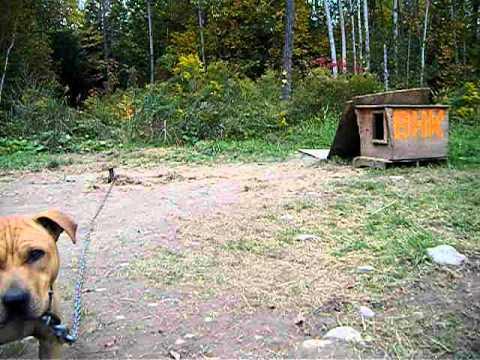 Brindle Hide Kennels  Yard Video 2010