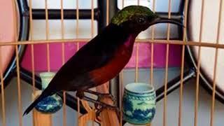 Cara Memancing Burung Kolibri Ninja  yang malaes bunyi agar racin gacor dan ngplong
