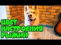 ЦВЕТ НАСТРОЕНИЯ РЫЖИЙ Хаски Бублик Говорящая собака mp3