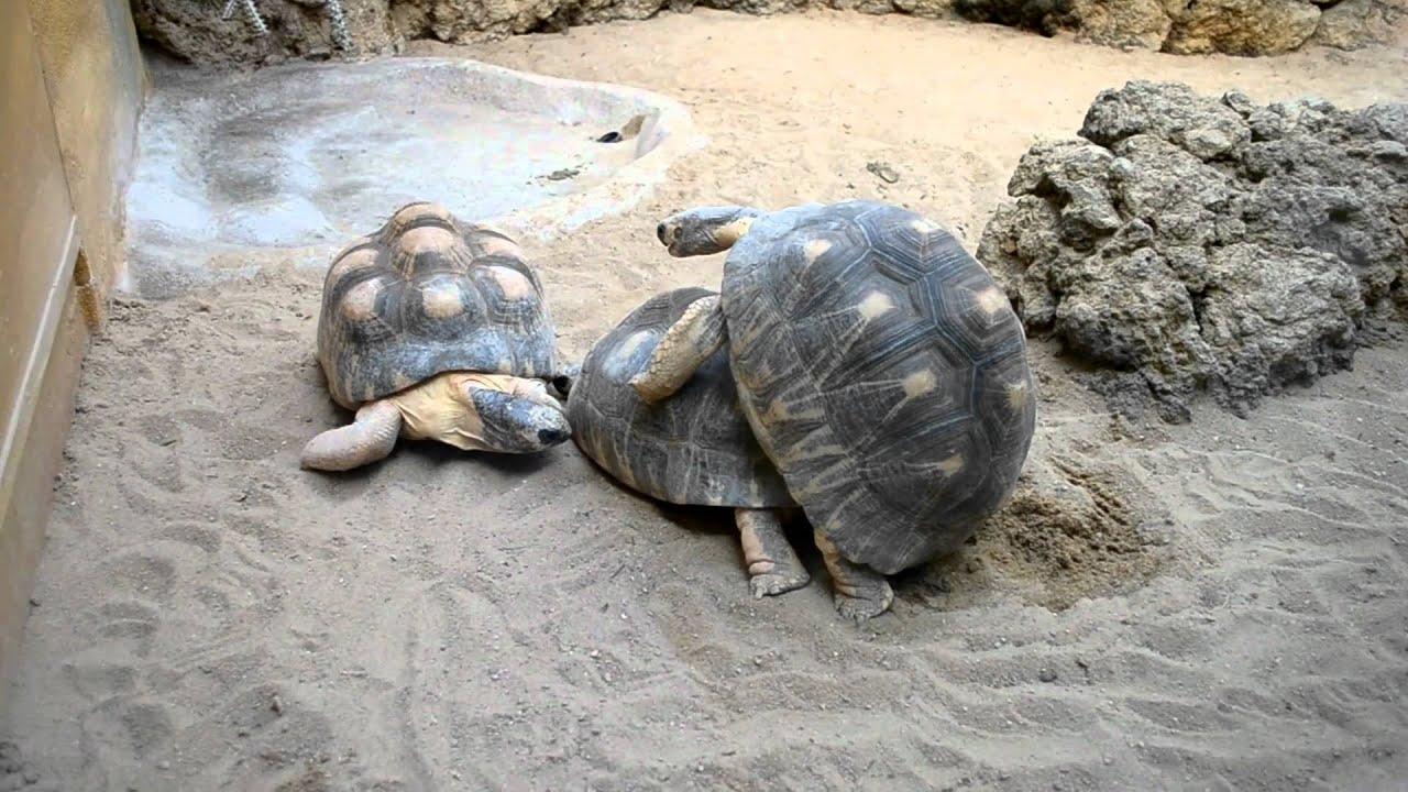 Tartarughe che si accoppiano youtube for Accoppiamento tartarughe