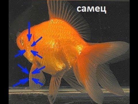 Золотая рыбка. Отличие самца от самки. Ухаживание.