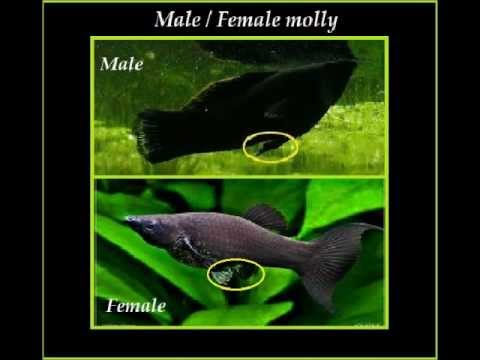 All about: The molly fish. - YouTube Black Molly Fish Male Or Female