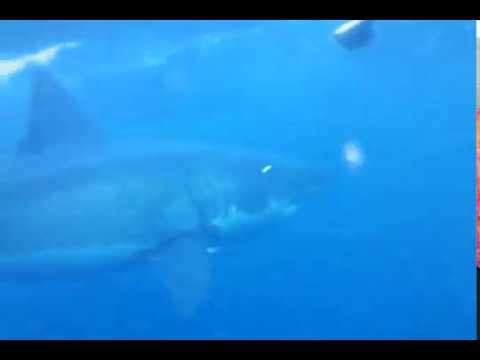 requin blanc attaque australie 2011 withe shark
