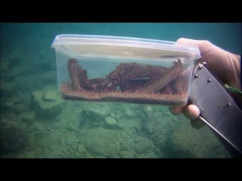 La cattura del verme di rimini - bobbit worm catch - morski crv