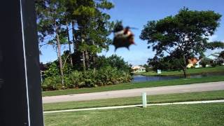 SOUTH FLORIDA LIVE ( ROYAL PALM BEACH), Spiny Orb weaver Spider ( Gasteracantha cancriformis )