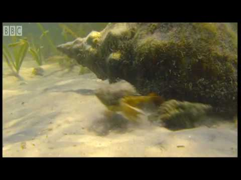 Giant Horse Conch and Burglar Hermit Crabs - Blue Planet - BBC Earth Video