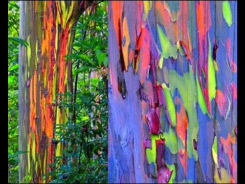 How to Grow Rainbow Tree Eucalyptus deglupta Mindanao gum seeds Part 1