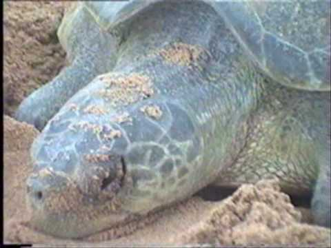Save Olive Ridley Turtles