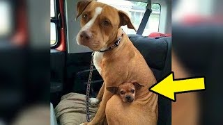 Download Lagu Man Comes To Adopt Pit Bull At Shelter, But She Refused To Let Go Of Her Best Friend Gratis STAFABAND