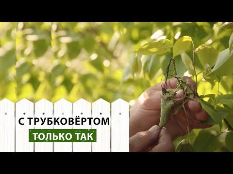 Почему скручиваются листья на плодовых деревьях и как с этим бороться?