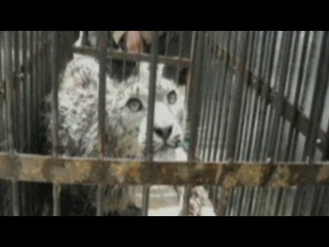 Injured snow leopard rescued from Chinese mine