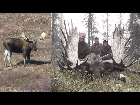Monster Alaskan Bull Moose