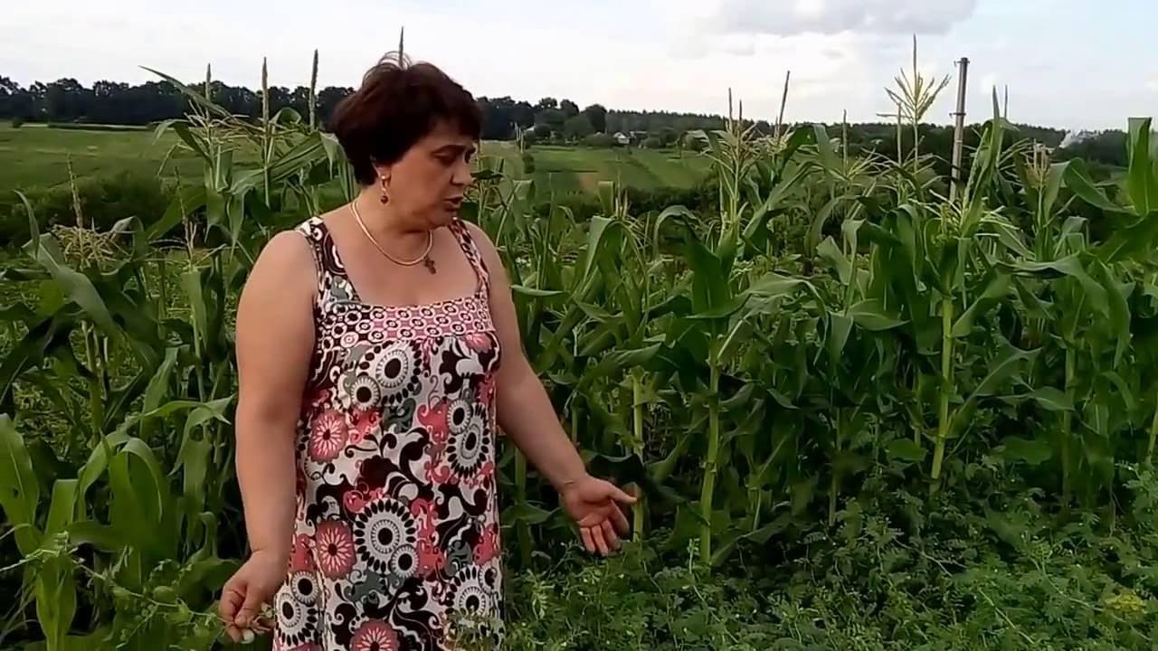 Нут выращивание на огороде 72