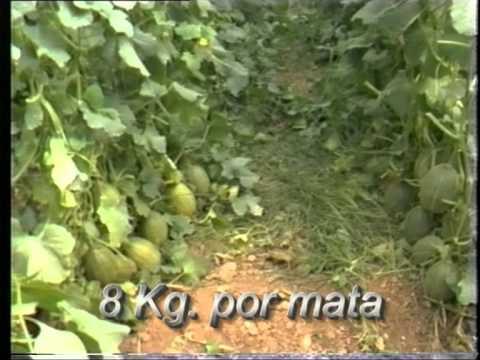 Cultivo de pepinos y melones en invernadero.mpg