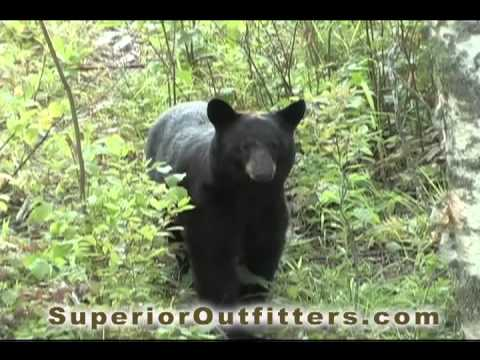 Live Bear Footage - Superior Guide and Outfitters - Northern Wisconsin
