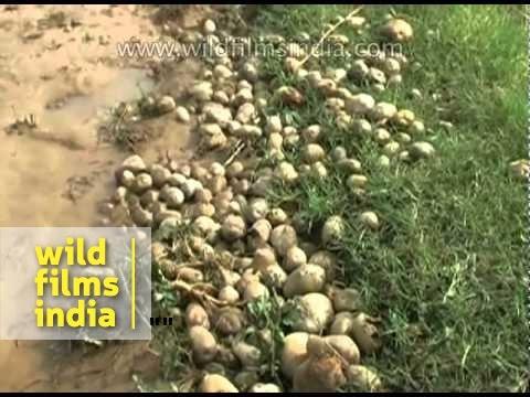 Untimely rain destroys crops in Ujjain