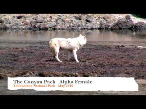 Yellowstone Alpha Wolf - The Canyon Gallery