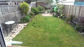 Lots of birds on our lawn, STRANGE!