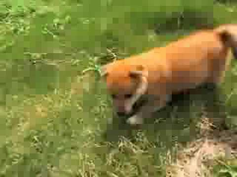 柴犬の里 高遊荘 「柴犬の赤ちゃん」1