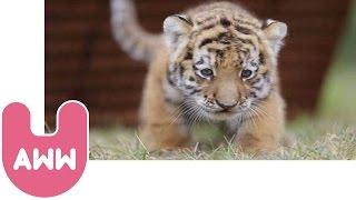 Cute Siberian Tiger Cubs from Hungary