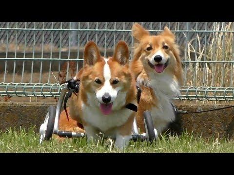 Can Goro run ? / 日に日に足が衰えていくゴローさん 20180527 Roku ロクさん dog コーギー 犬  DM 変性性脊髄症