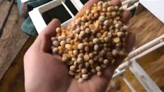 Peas cleaning and sorting with winnowing machines