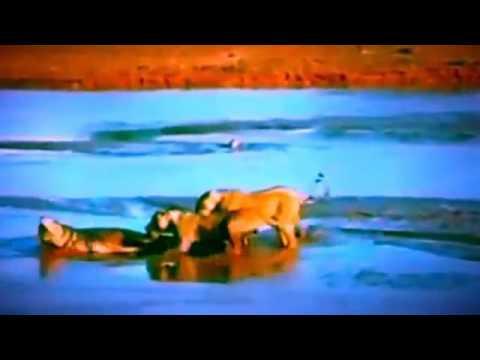 Pelea salvaje León vs cocodrilo León vs crocodile IMPRESIONANTE vídeo nuevo 2016