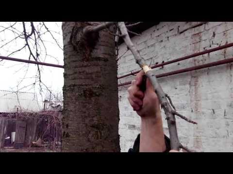 Размножение Деревьев методом Воздушной Отводки, Весной. Прививка, Окулировка