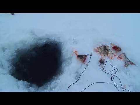 Рыбалка.Налим со льда на поставухи.