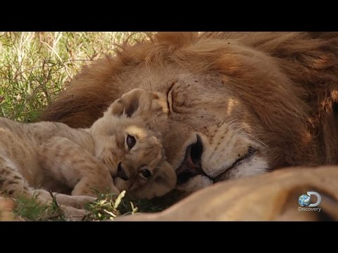 Lion Cubs Play, Parents on Watch   Life Story