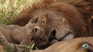 Adorable Lion Cubs Frolic as their Parents Look On