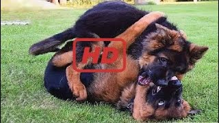 Funniest & Cutest  German Shepherd Videos #2 - Funny Dogs Compilation 2018