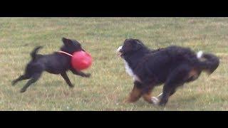 Bernese Mountain Dog Murphy & Labrador Bandit legging it.