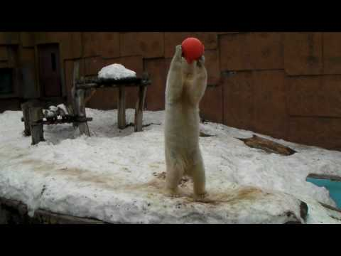 Polar Bear Pirika 20100225 浮きボールをもらって遊ぶピリカ