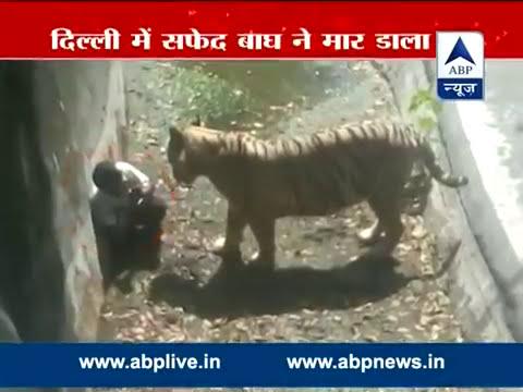 Homem cai na jaula de tigre em zoologico na India e é devorado.