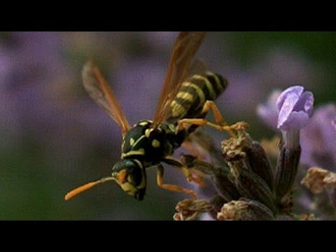 Wasp flight in slow motion, UltraSlo slow motion