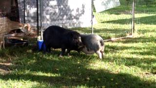 Pig fight: Arnold and Doodles first meet with no barrier
