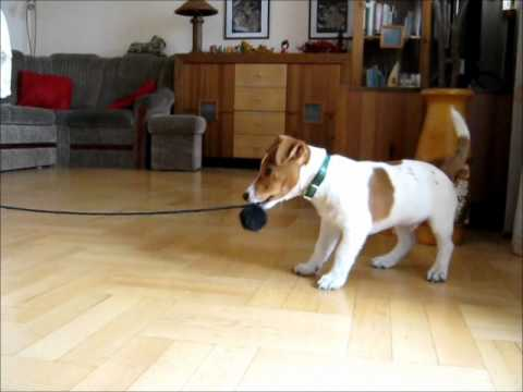 Psia Zabawa Jack Russell Terrier 2 YouTube
