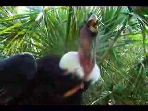 Meet the worlds biggest flying bird, the Andean Condor