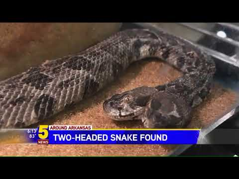 Two-headed rattlesnake found by electrical worker is freaking people out