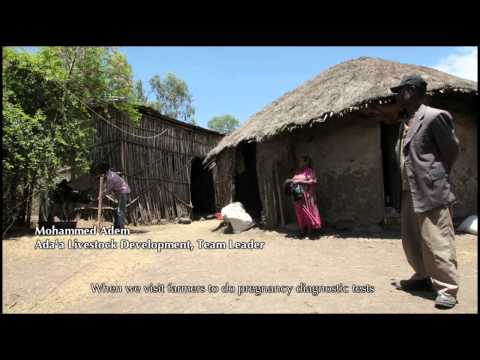 More Money, Milk And Meat: Promoting Mass Artificial Insemination For Ethiopian Cattle video