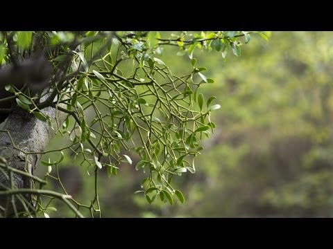 Mistletoe (Viscus album) | Natural History Museum