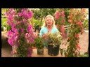 Bougainvillea Plant Care : What Are Bougainvillea Vines?