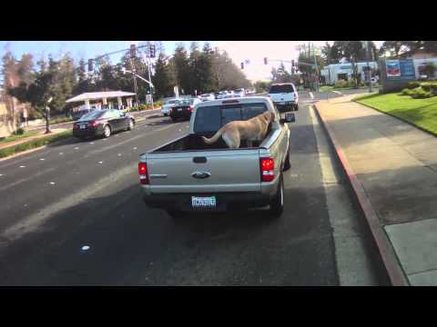 Loose Dog Riding in the Back of a Pickup Truck